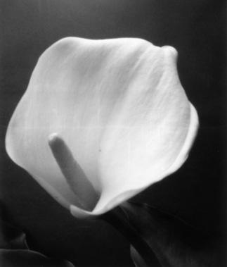 080817_Calla lily.jpg