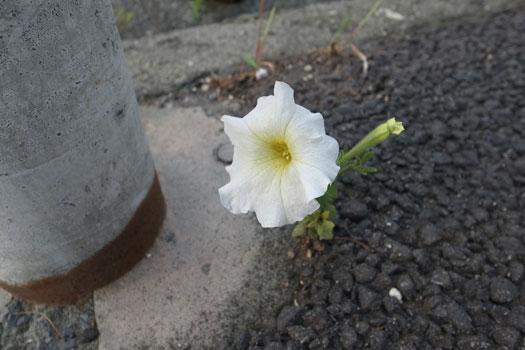 130714_路上の花.jpg