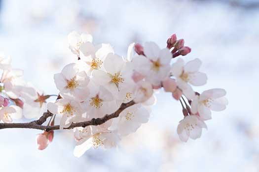150329_桜-01.jpg