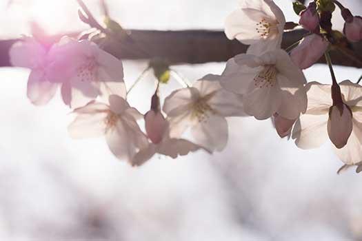 150329_桜-02.jpg