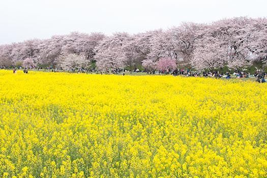 160403_権現堂桜堤-01.jpg