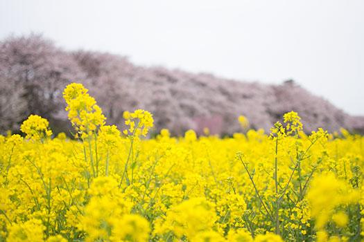 160403_権現堂桜堤-02.jpg
