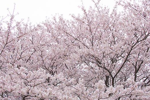 160403_権現堂桜堤-06.jpg