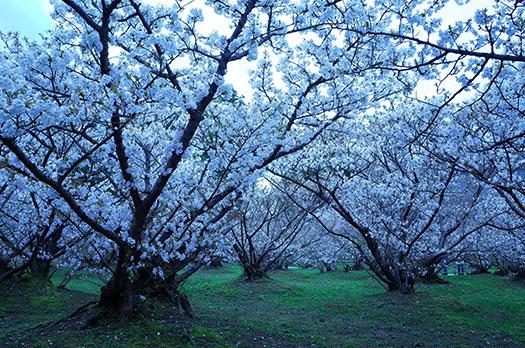 160410_仁和寺-御室桜.jpg