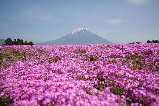 160508_富士芝桜まつり-01.jpg