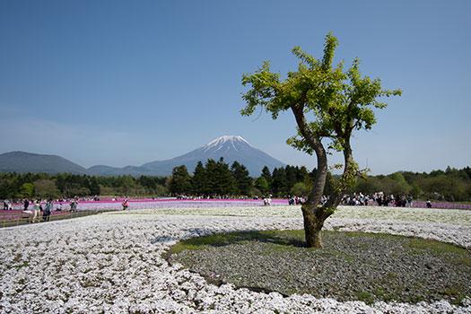 160508_富士芝桜まつり-05.jpg