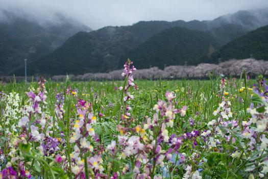 170409_田んぼをつかった花畑.jpg