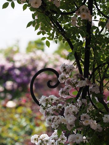 130526_花菜ガーデン-1.jpg