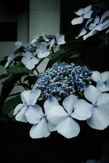 140608_紫陽花.jpg